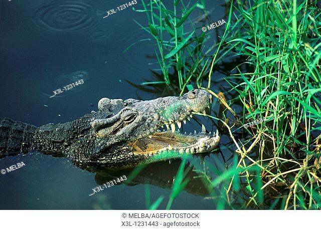 Cuban crocodile Crocodylus rhombifer Cienaga de Zapata Matanzas Cuba