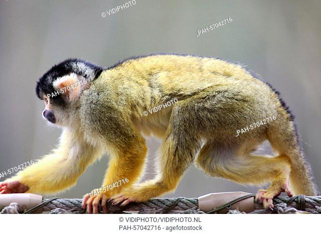 APELDOORN - The first time outside till the winter for the squirrel monkeys in the primate park Apenheul in the Dutch city Apeldoorn Thursday 26-3-2015