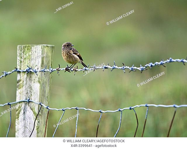 Brown bird sitting on a barbed wire fence, Ireland
