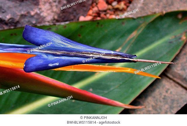 crane flower, bird of paradise flower, geel piesang Strelitzia reginae, detail of the blossom