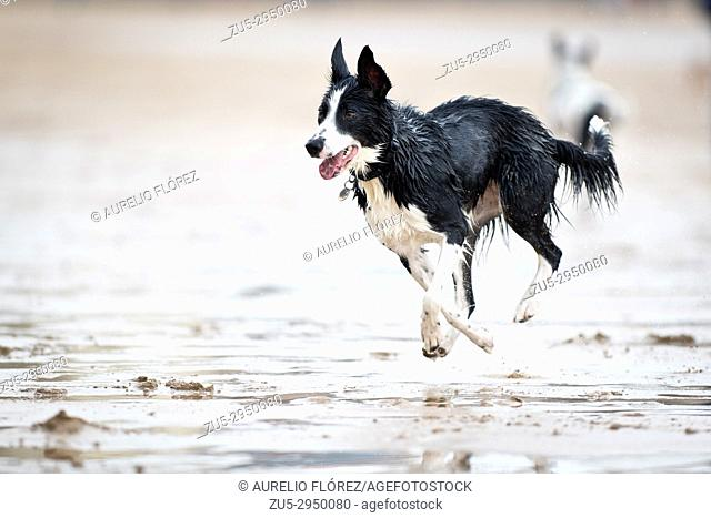 dogs on the beach, playing. Dogs in action