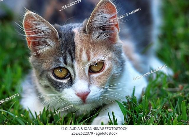 Calico cat lying in the grass and looking at camera
