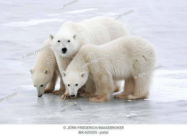 Polar bear family (Ursus maritimus), Churchill, Manitoba, Canada