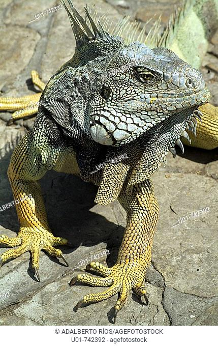 iguana in the Iguana Park in Guayaquil