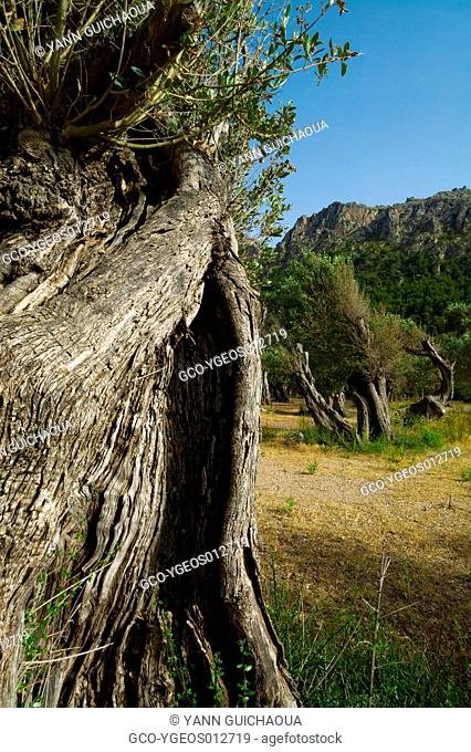 Olive Trees At Cala Tuent, Island Of Palma,Balearic Islands,Spain