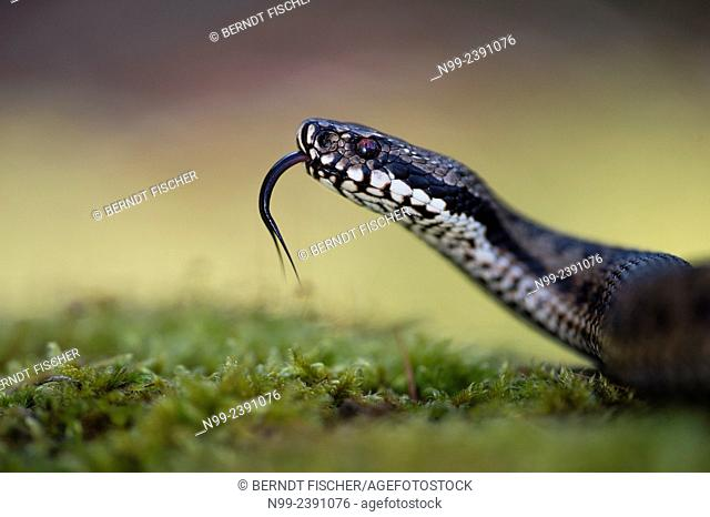 Adder (Vipera berus), female, darting the tongue in and out, Bavaria, Germany