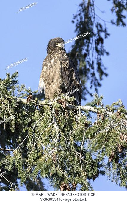 immature Bald eagle, Haliaeetus leucocephalus, The plumage of the immature is a dark brown overlaid with messy white streaking until the fifth (rarely fourth