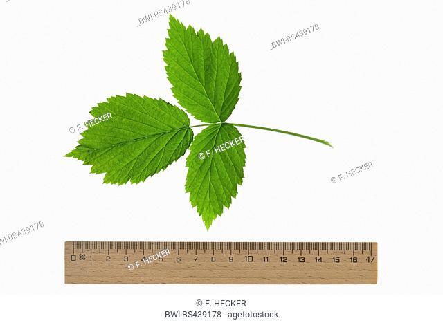 European red raspberry (Rubus idaeus), single raspberry leaf, cutout, with ruler