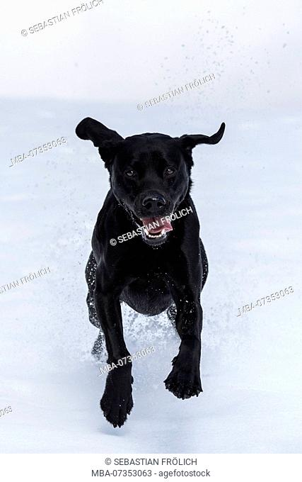 Black Labrador running with flying ears through the snow to the viewer