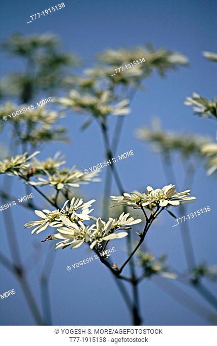Snow Bush, Pascuita, Snows of Kilimanjaro, White Small Leaf Poincettia, Snow Flake, White-laced euphorbia, Euphorbia leucocephala