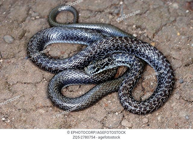 Indian Smooth Snake (Coronella austriaca), This is a small slender snake that usually only grows to 60-70cm in length. It is generally grey or dull brown in...