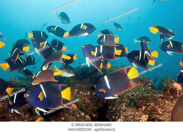 Shoal of King Angelfish, Holacanthus passer, Cabo Marshall, Galapagos, Isabela Island, Ecuador