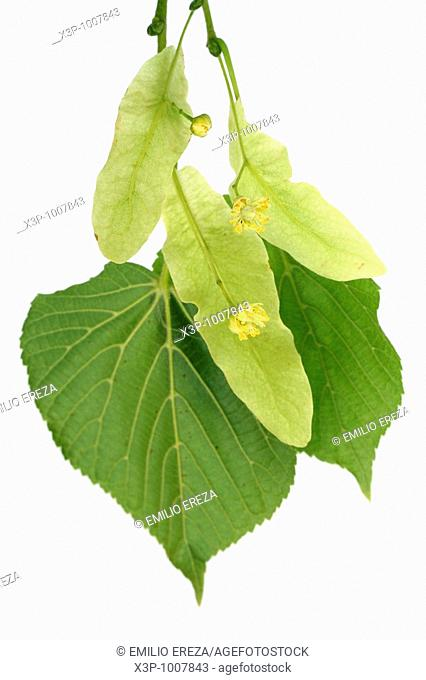 Common lime tree Tilia platyphyllos cordata