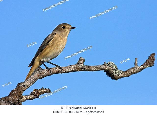 Common Redstart Phoenicurus phoenicurus adult female, on autumn migration, perched on branch, Finland, september