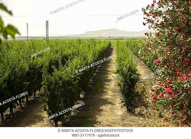 A field of vineyards in the South of Spain, (Montijo, Extremadura)