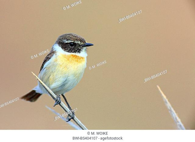 Canary islands chat (Saxicola dacotiae), male sits on agava, Canary Islands, Fuerteventura
