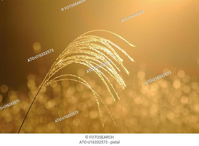 Japanese pampas grass in the evening, close up, differential focus, Shiga prefecture, Japan