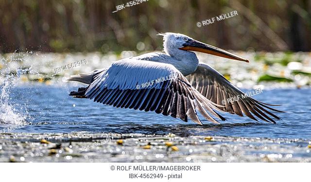 Dalmatian pelican (Pelecanus crispus) at the start, Danube, Danube Delta, Biosphere Reserve Danube Delta, Romania