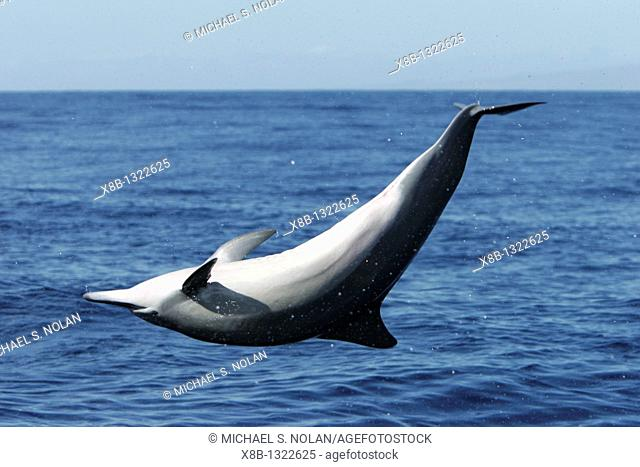 Young female Hawaiian spinner dolphin Stenella longirostris upside down while spinning in the AuAu Channel off the coast of Maui, Hawaii, USA  Pacific Ocean