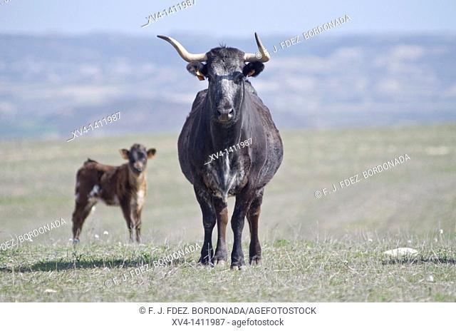 Brave bulls in Monegros area  Saragossa province  Aragon  Spain