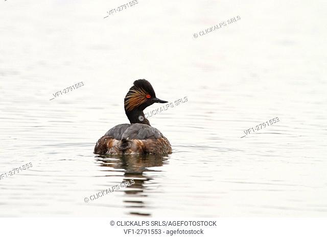 Delta Po Park, Emilia Romagna, Italy. Black-necked Grebe