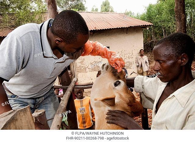 Vet tending wound in nose of Jersey cow, Rwanda