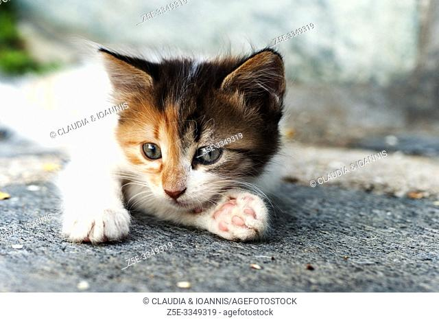 Close up of a calico kitten lying down outdoors