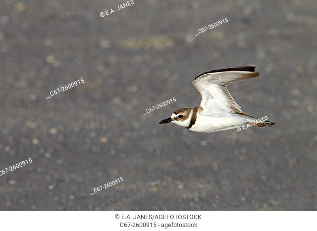 Semipalmated Plover Chadrius semipalmated in flight Fort Myers beach Gulf Coast Florida USA