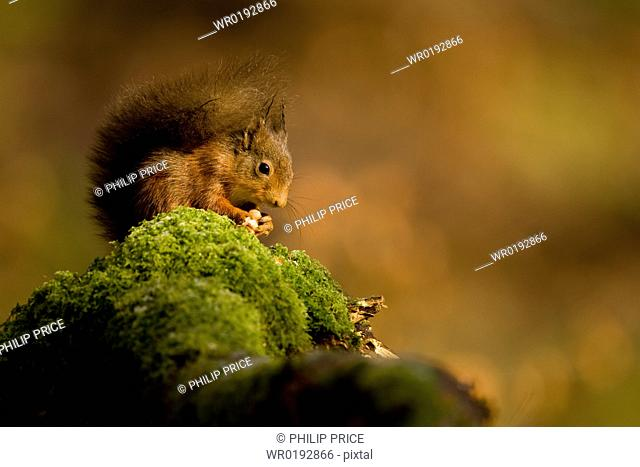 Red Squirrel Sciurus vulgaris sitting on mossy branch eating nut Loch Awe, nr Oban, Scotland, UK