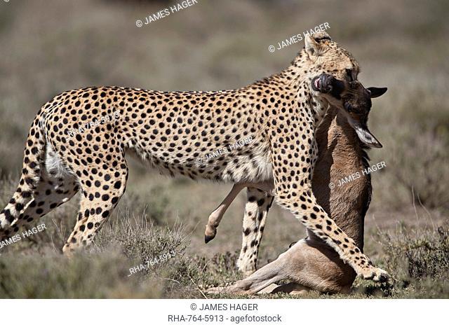 Cheetah (Acinonyx jubatus) with a baby blue wildebeest (Connochaetes taurinus), Ngorongoro Conservation Area, Tanzania, East Africa, Africa
