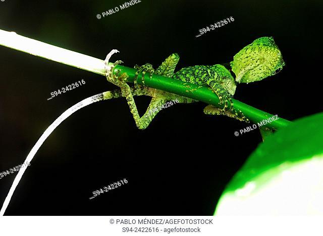 Lizard (Acanthosaura spp. ) on a branch in Gunung Gading, Sarawak, Malaysia, Borneo