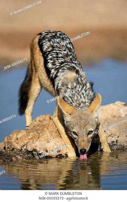 An alert Black-backed Jackal (Canis mesomelas) drinking from a dam at sunset, South Africa, Northern Cape, Kgalagadi Transfrontier Park