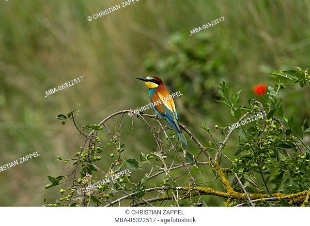 Merops apiaster, bee-eaters, Kaiserstuhl (range of hills), Germany