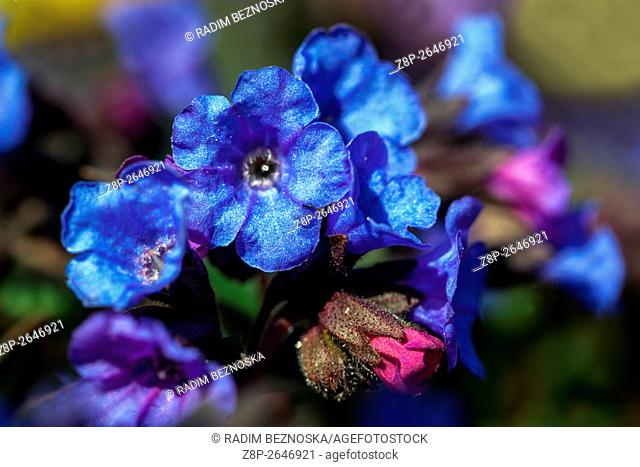 Blue Lungwort, Pulmonaria mollis
