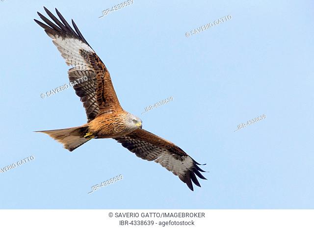Red Kite (Milvus milvus), adult in flight, Basilicata, Italy