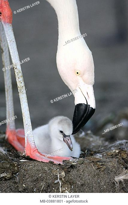 Chile-flamingo, Phoenicopterus chilensis, young, nest