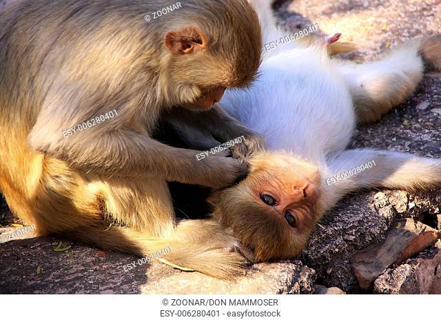 Rhesus macaques (Macaca mulatta) grooming each oth
