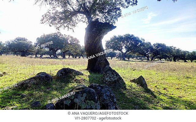 Cork oak. Dehesa Boyal, Salvatierra de Santiago, Extremadura. Spain