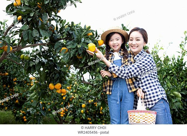 Girl and her mother with a basket picking a tangerine from a tree together at the tangerine field