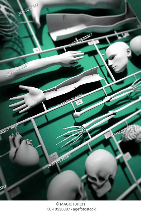 Close up of plastic model kit for male anatomy