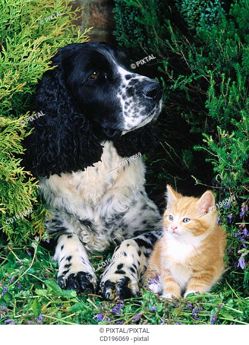 Ginger Cat and Springer Spaniel