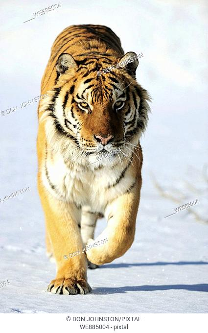 Siberian tiger Panthera tigris altaica- captive in winter habitat