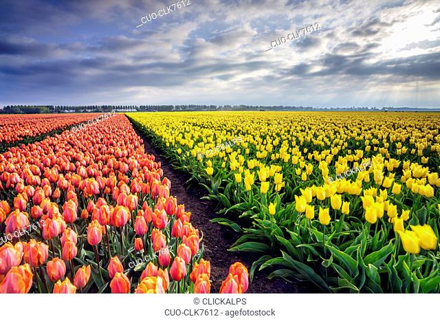 Spring clouds and rays of sun over fields of multicolored tulips, Schermerhorn, Alkmaar, North Holland, Netherlands, Europe