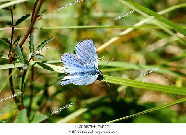 Damon blue Agrodiaetus damon, Kaiserstuhl (range of hills), Germany