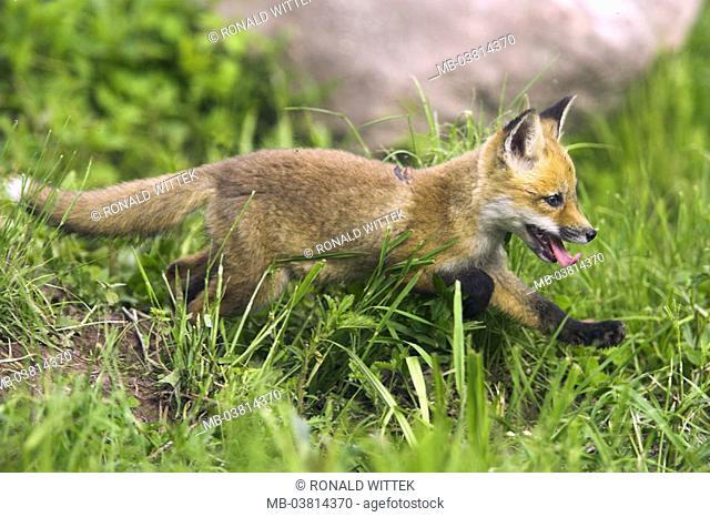 Meadow, Rotfuchs, Vulpes vulpes, young,  on the side,   Nature, fauna, animal, mammal, wild animal, carnivore, fox, young, puppy, curiosity, interest