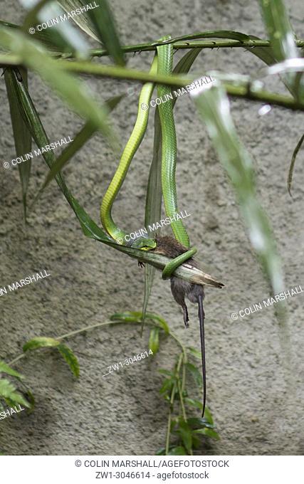 Red-tailed Racer Snake (Reptilia class, Squamata order, Colubridae family, Gonyosoma oxycephalum) eating rat (Rodentia order, Muridae family, Rattus sp