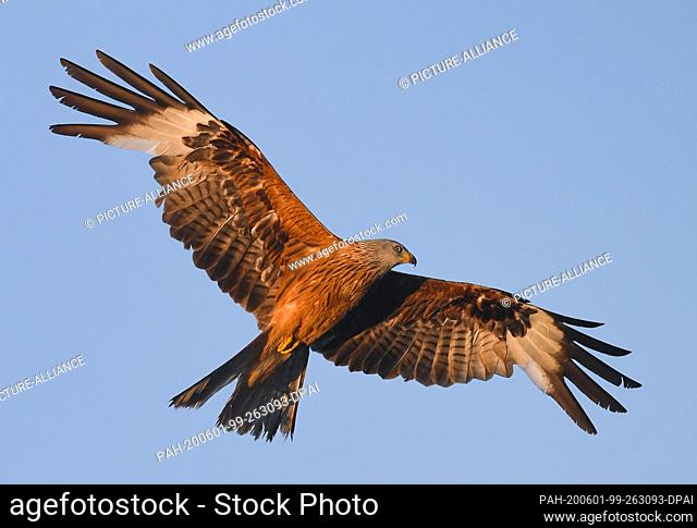 31 May 2020, Brandenburg, Kersdorf: A red kite (Milvus milvus) circles in the blue sky. With about 65 centimeters and a wingspan of up to 180 centimeters