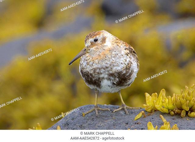 Summer plumage Rock Sandpiper of the Pribilofs race (Calidris ptilocnemis), St. Paul Island, Pribilofs, Alaska