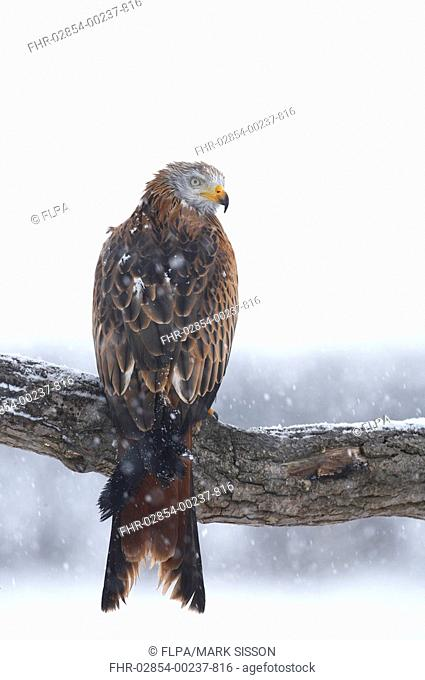 Red Kite Milvus milvus adult, perched on branch in snowstorm, Powys, Wales
