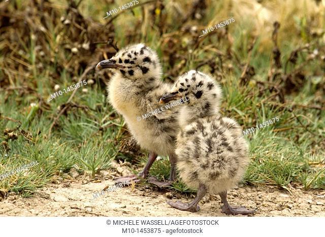 Baby gull chicks